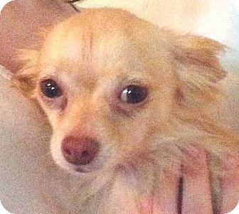 Chihuahua Dog for adoption in Orlando, Florida - Morgan