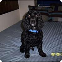 Adopt A Pet :: Bart - Tacoma, WA