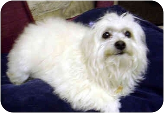 Havanese Dog for adoption in Los Angeles, California - OPAL