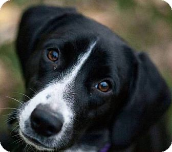 Pointer Mix Dog for adoption in Manhattan, Kansas - Pearl
