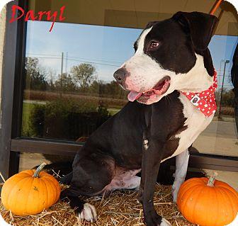 Labrador Retriever/American Staffordshire Terrier Mix Dog for adoption in Bucyrus, Ohio - Daryl