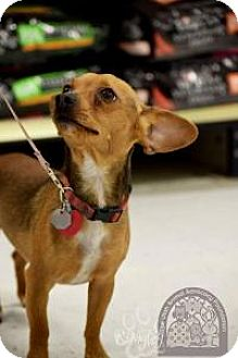 Chihuahua Mix Dog for adoption in Salt Lake City, Utah - Jax