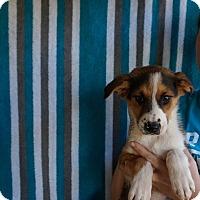Adopt A Pet :: Astro - Oviedo, FL