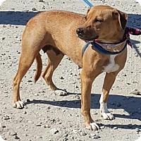 Bulldog/Retriever (Unknown Type) Mix Dog for adoption in Americus, Georgia - Ruby