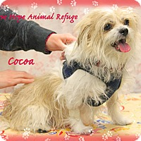 Shih Tzu/Terrier (Unknown Type, Small) Mix Dog for adoption in Waterbury, Connecticut - Cocoa