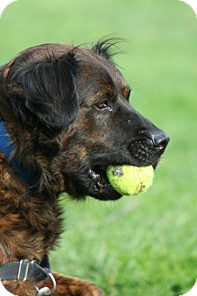 Spaniel (Unknown Type) Mix Dog for adoption in Nashville, Tennessee - Bear