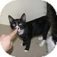 Adopt A Pet :: Miss Moxi - Vancouver, BC