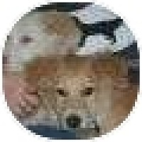 Adopt A Pet :: Suzi - Denver, CO