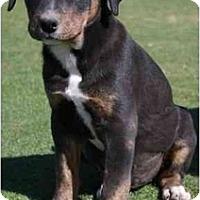 Adopt A Pet :: Cheska - Gilbert, AZ