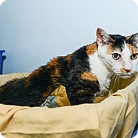 Adopt A Pet :: Gracie Anne - New York, NY