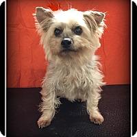Adopt A Pet :: Bella - Indian Trail, NC
