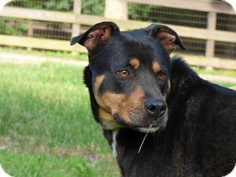 Rottweiler Mix Dog for adoption in Centerville, Tennessee - Cimeron