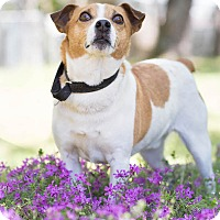 Jack Russell Terrier Mix Dog for adoption in Conyers, Georgia - Skeety