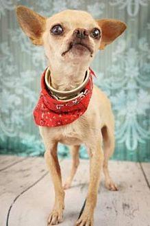 Chihuahua Mix Dog for adoption in Scottsdale, Arizona - Dino
