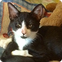 Hemingway/Polydactyl Cat for adoption in Tampa, Florida - Johnny
