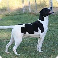 Pointer/Boxer Mix Dog for adoption in Fairfax Station, Virginia - Ollie Hound