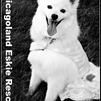 American Eskimo Dog Dog for adoption in Elmhurst, Illinois - Shira