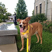Corgi/Australian Cattle Dog Mix Dog for adoption in Russellville, Kentucky - Radar