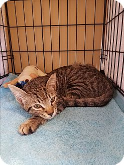 Domestic Shorthair Cat for adoption in Houston, Texas - Frasier