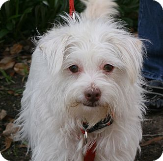 Maltese/Terrier (Unknown Type, Small) Mix Dog for adoption in Carlsbad, California - Chloe