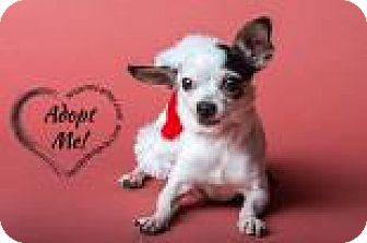 Chihuahua Mix Dog for adoption in Midland, Virginia - Pebbles