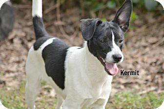 Rat Terrier/Boston Terrier Mix Dog for adoption in Glastonbury, Connecticut - Kermit ~ meet me!