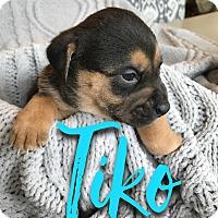 Adopt A Pet :: Tiko - San Antonio, TX