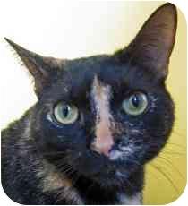 Domestic Shorthair Cat for adoption in Marietta, Georgia - Belinda