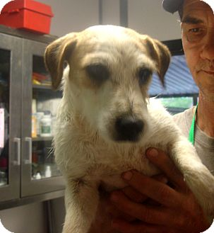 Jack Russell Terrier Puppy for adoption in Greencastle, North Carolina - Fashion