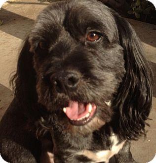 Wheaten Terrier/Cocker Spaniel Mix Dog for adoption in Thousand Oaks, California - Clifford