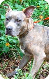 American Pit Bull Terrier Mix Dog for adoption in Gainesville, Florida - Buck