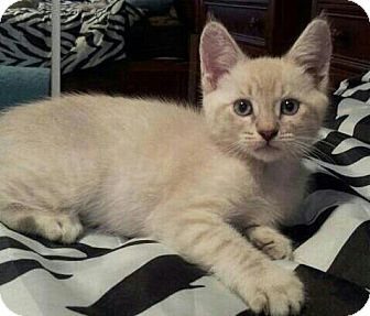 Siamese Kitten for adoption in Irvine, California - HarPurr