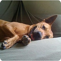 German Shepherd Dog/Rhodesian Ridgeback Mix Dog for adoption in Houston, Texas - Lira