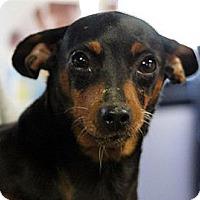 Adopt A Pet :: Apple - South Amboy, NJ
