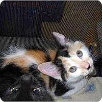 Adopt A Pet :: Callie Sue - Washington Terrace, UT