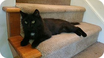 Domestic Mediumhair Cat for adoption in Washington, North Carolina - SEBASTIAN