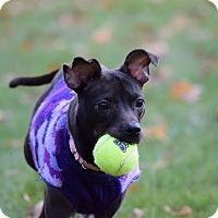 Adopt A Pet :: Poppy - Muskegon, MI