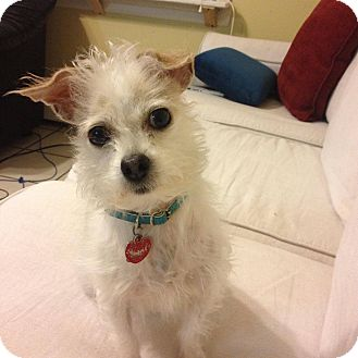 Jack Russell Terrier/Chihuahua Mix Dog for adoption in Bloomingburg, New York - Meredith