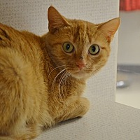Adopt A Pet :: Cheddar - Evansville, IN