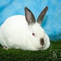 Adopt A Pet :: Bunyonce - Pflugerville, TX