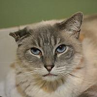 Siamese Cat for adoption in Canoga Park, California - Shiloh