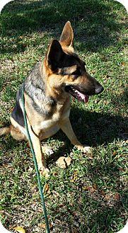 German Shepherd Dog Dog for adoption in Sarasota, Florida - Larson