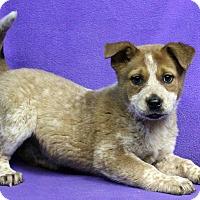 Adopt A Pet :: BROOKLYN - Westminster, CO