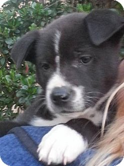Akita/Labrador Retriever Mix Puppy for adoption in Long Beach, California - 4 Akita/Lab Boys