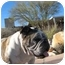 Photo 4 - English Bulldog Dog for adoption in Gilbert, Arizona - Millie