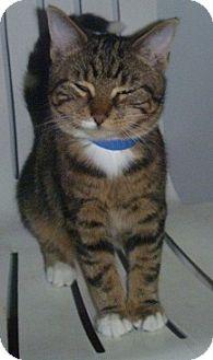 Domestic Shorthair Cat for adoption in Hamburg, New York - Joseph J.