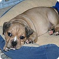 Adopt A Pet :: Archie - Minneola, FL