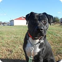 Adopt A Pet :: Socks - Spring Valley, NY