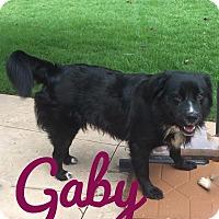 Flat-Coated Retriever/Newfoundland Mix Dog for adoption in Milton, Georgia - Gaby