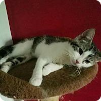 Adopt A Pet :: Lassiter - Fairborn, OH